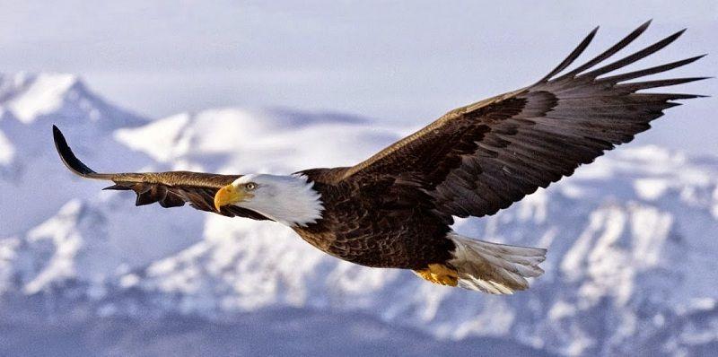 El Águila Real es una de las especies con menor cantidad de elementos en su comunidad animal.