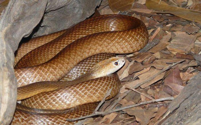 La-serpiente-Inland-Taipan