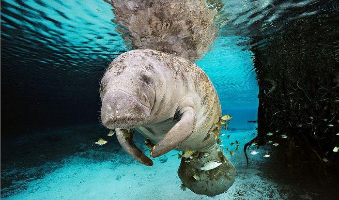 El Manatí del pacífico es una de las especies icónicas