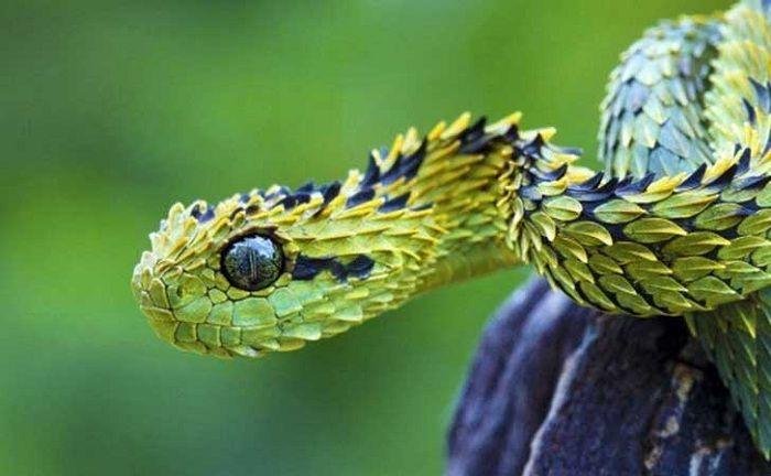 Serpiente Atheris de la selva de Ááfrica
