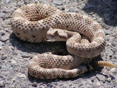 Serpiente-de-cascabel-sidewinder