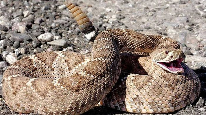 Serpientes de Cascabel: Qué Comen, Características y Hábitat