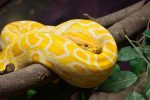 Serpiente Pitón Birmana: La más Grande del Mundo