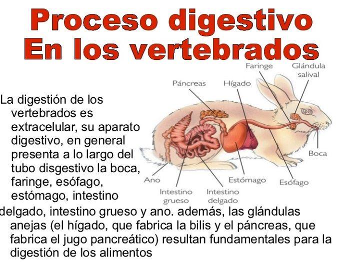 proceso-digestivo-en-los-animales-vertebrados