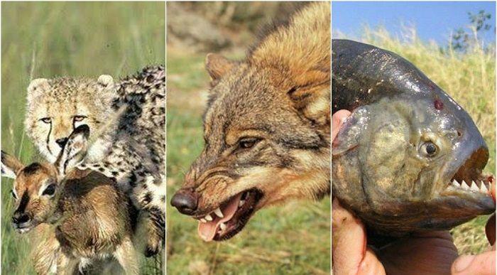Animales Carnivoros Ejemplos Caracteristicas Y Curiosidades