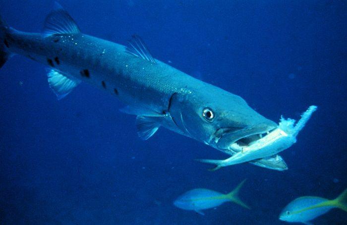 barracuda-presa-alimentacion