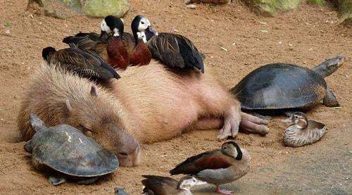 capibara-animal-amigable