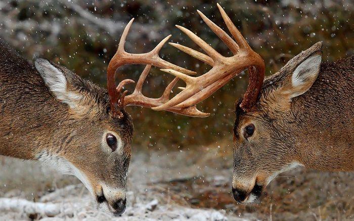 ciervo-pelea-territorial