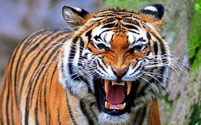 El Tigre: Hábitat, Características y Alimentación
