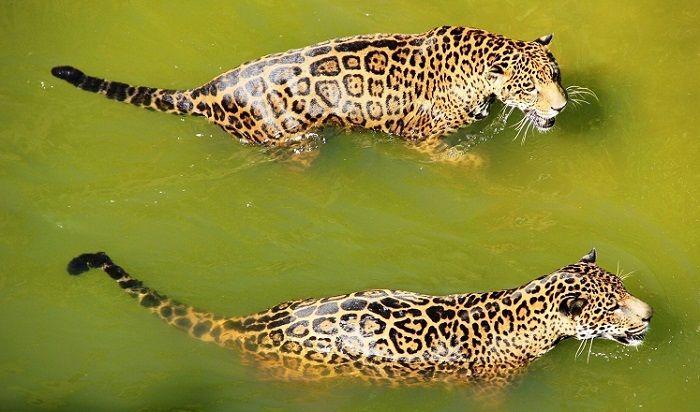 jaguar-cazando-en-agua