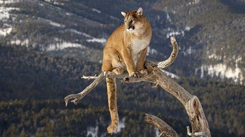 puma-animal