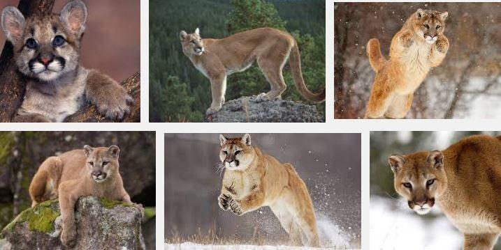 Puma o León de Montaña: Características, Reproducción y Hábitat