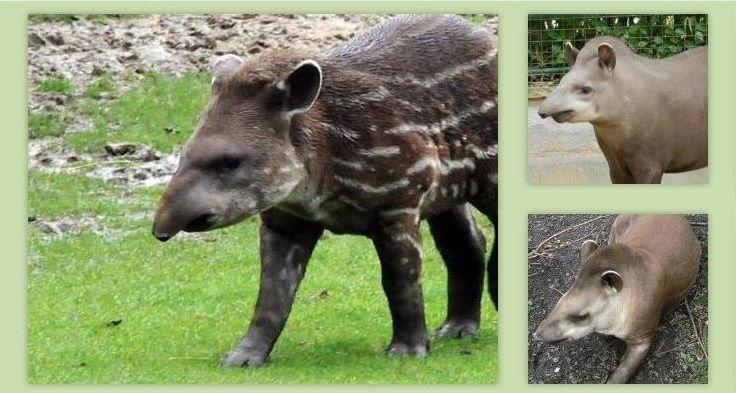Tapir: Animal en Peligro de Extinción, Hábitat, Características y Qué Come