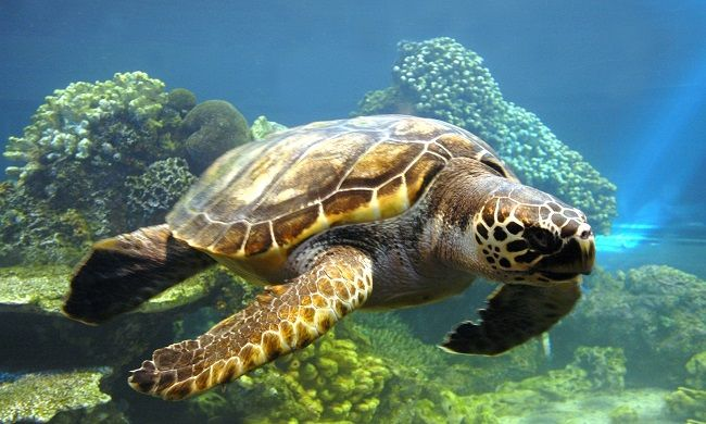 animales-acuaticos-tortuga