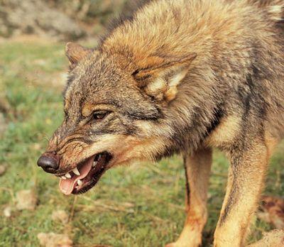 La dentadura de los animales carnívoros suele ser su mayor arma cuando están de casería.