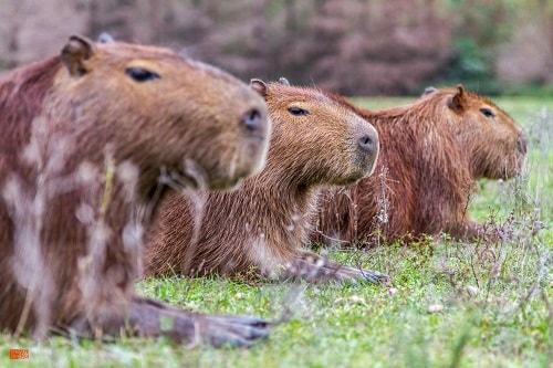 Capibara: Características, Hábitat, Alimentación, Vida y Curiosidades