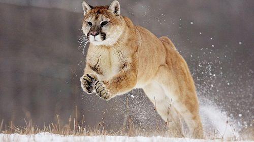 leon-de-montana-puma-pantera