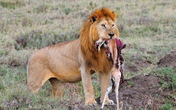 El León es considerado el rey de la selva y también un experto carnívoro en cuanto a cazar su alimento.