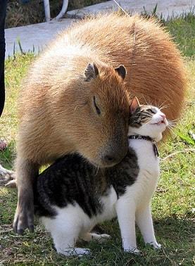los-capibaras-son-animales-sociables