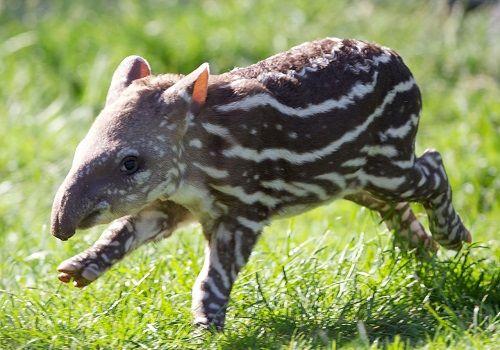 tapir-bebe