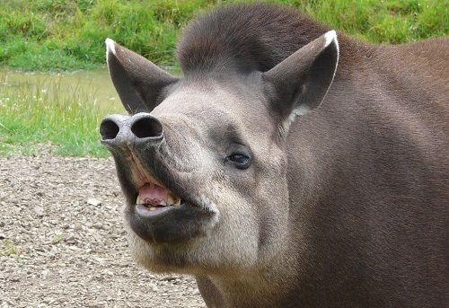 tapir-en-peligro-de-extincion