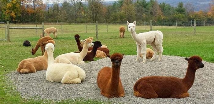 alpaca-domestica