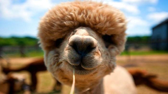 Alpaca: Características, Alimentación y Datos Curiosos de Este Animal
