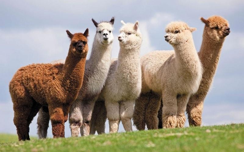 la-alpaca