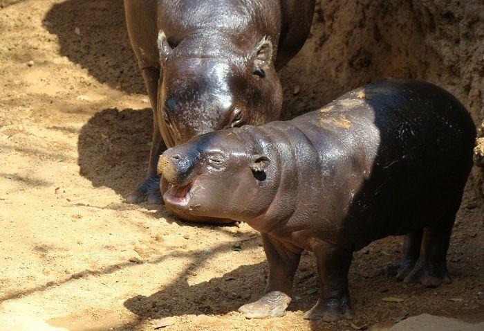Hipopótamo-enano-de-Madagascar