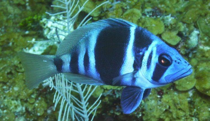 animales de la costa Hypoplectrus