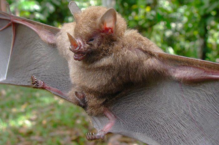 Murciélago-de-nariz-peluda