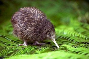 ave-Kiwi