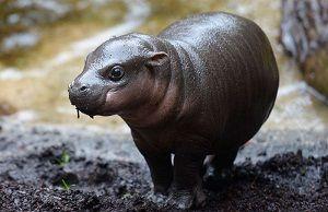 Cría-de-hipopótamo