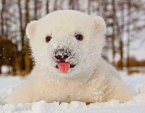 Cría-de-oso-polar
