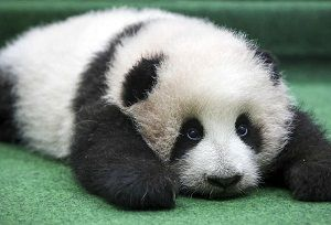 Cría-de-panda