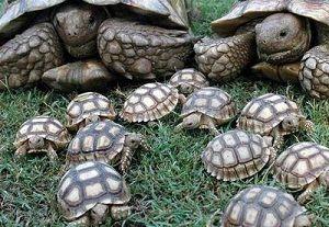 Cría-de-tortuga-terrestre