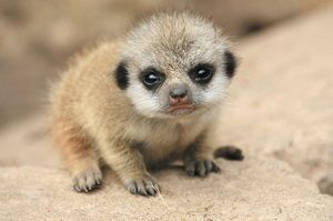 Crías-de-suricata