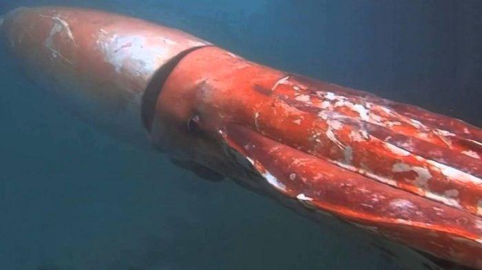 El-calamar-gigante