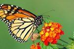 Mariposas Monarcas y Su Increíble Proceso De Migración