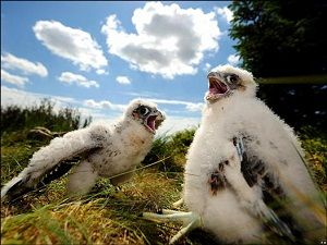 Pichón-de-halcón