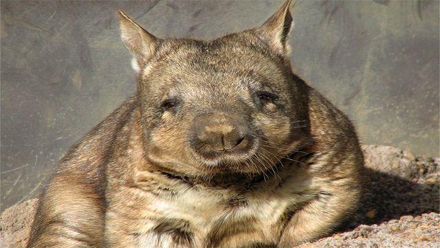 Wombat-de-Nariz-Peluda