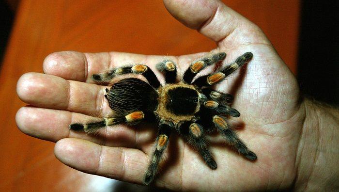 araña-animal-invertebrado