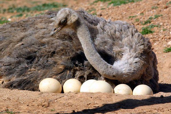 avestruz-animal-ovíparo