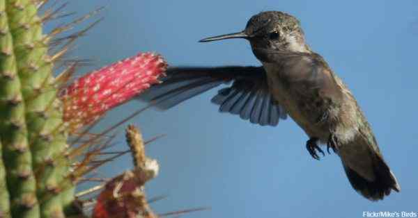 10 colibrí del desierto
