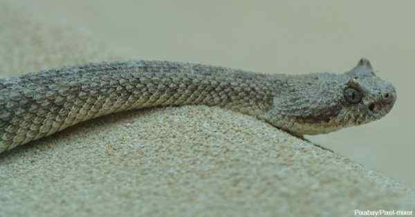 4 serpiente del desierto