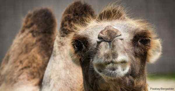 5 camello del desierto