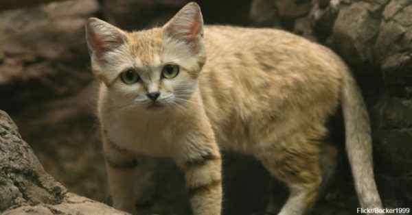 6 gato del desierto