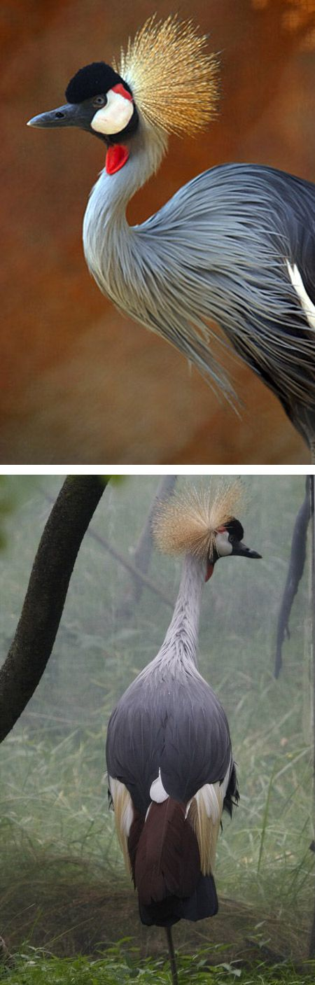 grulla coronada africana