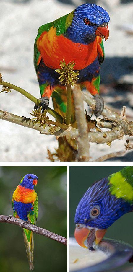 El Lorikeet arco iris