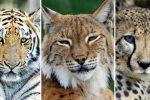 Animales Felinos: Definición, Lista, Tipos y Especies